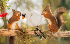 Животные: белки, рыжие, парочка, игрушка, лебедь, рябина, ягоды, бревно