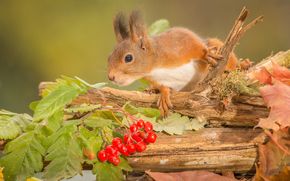 Животные: белка, рыжая, рябина, ягоды, листья, коряга, осень
