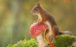 Животные: белка, рыжая, мухомор, гриб