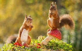 Животные: белки, рыжые, парочка, мухомор, грибы
