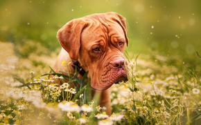 Животные: Бордоский дог, Французский мастиф, собака, морда, цветы, ромашки