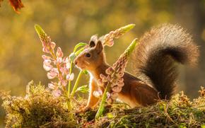 Животные: белка, рыжая, люпин, цветы