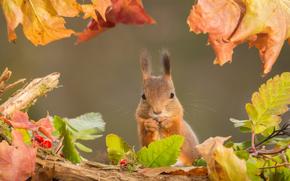 Животные: белка, рыжая, листья, осень