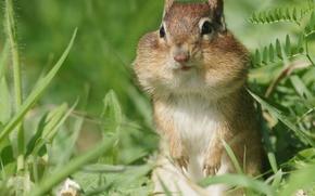 Животные: бурундук, зверёк, грызун, трава