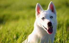Животные: хаски, собака, морда, взгляд