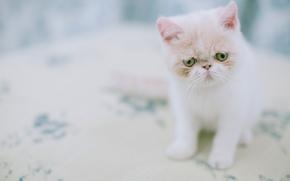 Животные: Экзотическая короткошёрстная кошка, экзот, котёнок
