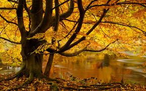 Пейзажи: Strid Wood, Bolton Abbey, Wharfedale, Yorkshire Dales, North Yorkshire, England, Стрид Вуд, Варфидейл, Аббатство Болтон, Йоркшир-Дейлс, Северный Йоркшир, Англия, осень, река, дерево, листья
