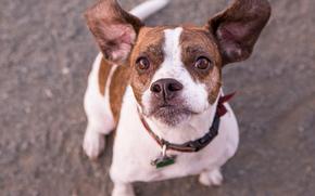 Животные: Пагль, собака, морда, взгляд, уши