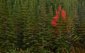 Природа: Newfoundland, Canada, Ньюфаундленд, Канада, осень, лес, деревья