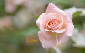 Цветы: роза, бутон, макро, боке
