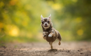 чихуахуа, собака, пёсик, бег, боке обои, фото