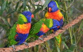 Многоцветный лорикет, лорикеты, попугаи, птицы, трио, троица, канат обои, фото