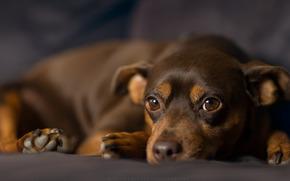 Карликовый пинчер, собака, взгляд обои, фото
