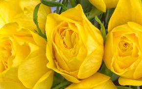 Цветы: жёлтые розы, розы, бутоны, макро