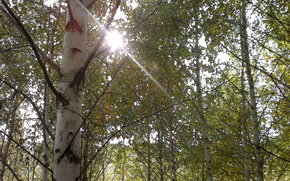 Природа: осень, берёзки, лучи солнца