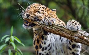 Животные: леопард, хищник, животное