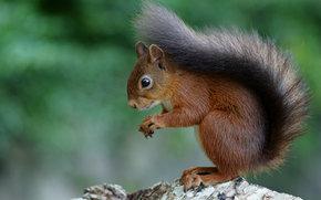 Животные: белка, рыжая, животное