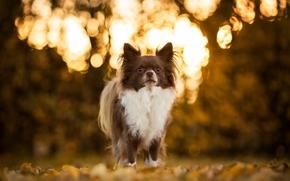 Животные: чихуахуа, собака, пёсик, боке