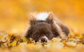 Животные: чихуахуа, собака, пёсик, мордочка, взгляд, листья