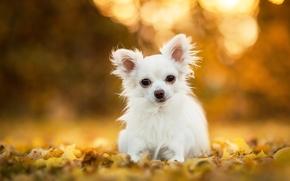 Животные: чихуахуа, собака, пёсик, листья, боке