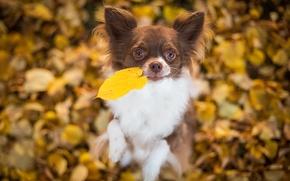 Животные: чихуахуа, собака, пёсик, листик, листья, настроение, боке