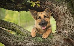 Животные: Немецкая овчарка, овчарка, собака, морда, дерево