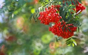 Природа: гроздья рябины, рябина, ягоды, ветка, боке