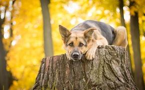 Животные: Немецкая овчарка, овчарка, собака, взгляд, пень