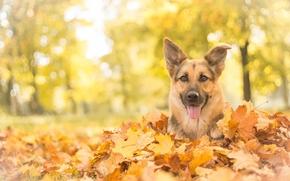 Животные: Немецкая овчарка, овчарка, собака, морда, взгляд, листья, осень