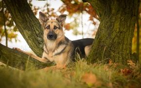 Животные: Немецкая овчарка, овчарка, собака, взгляд, листья, дерево