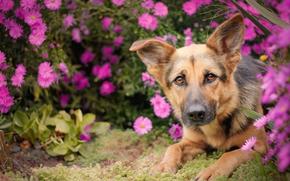 Животные: Немецкая овчарка, овчарка, собака, морда, взгляд, цветы