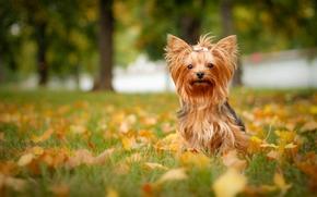 Животные: Йоркширский терьер, йорк, собака, листья, осень