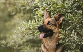 Животные: Немецкая овчарка, овчарка, собака, морда, портрет, ветки