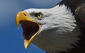Животные: Белоголовый орлан, ястреб, птица, хищник, голова, клюв