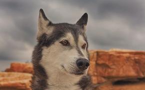 Животные: хаски, собака, морда, портрет