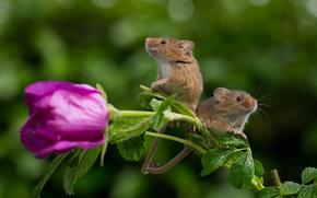 Животные: Harvest Mouse, Мышь-малютка, мышки, парочка, цветок