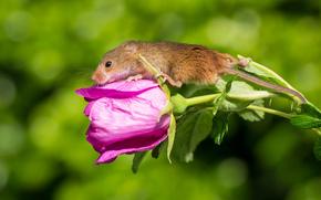 Животные: Harvest Mouse, Мышь-малютка, мышка, цветок
