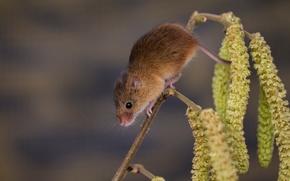 Животные: Harvest Mouse, Мышь-малютка, мышка, ветка, серёжки