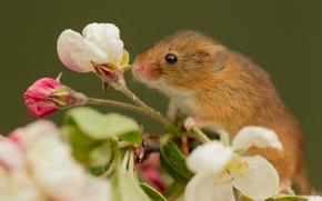 Животные: Harvest Mouse, Мышь-малютка, мышка, цветок, макро