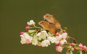 Животные: Harvest Mouse, Мышь-малютка, мышки, парочка, ветка, цветки
