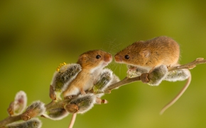 Животные: Harvest Mouse, Мышь-малютка, мыши, парочка, ветка, верба