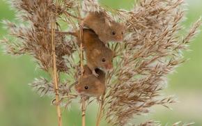Животные: Harvest Mouse, Мышь-малютка, мыши, трио, троица, камыш