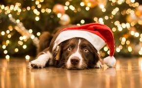 Животные: собака, морда, взгляд, колпак, Рождество, Новый год