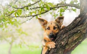 Животные: Немецкая овчарка, овчарка, собака, морда, взгляд, дерево