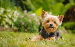 Животные: Йоркширский терьер, йорк, собака, взгляд