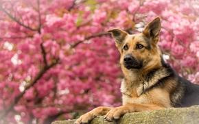 Животные: Немецкая овчарка, овчарка, собака, портрет
