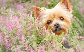 Животные: Йоркширский терьер, йорк, собака, мордашка, взгляд, цветы
