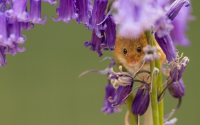 ��������: Harvest Mouse, ����-�������, �����, ������������, �����, �����