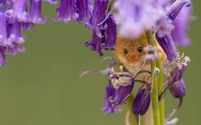 Животные: Harvest Mouse, Мышь-малютка, мышка, колокольчики, цветы, макро