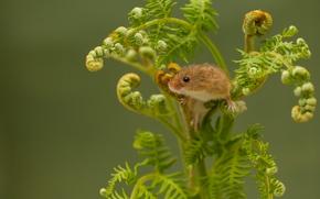 Животные: Harvest Mouse, Мышь-малютка, мышка, папоротник